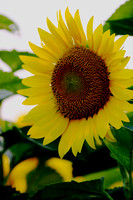 Sunflower - Memphis, TN